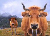 Grasende kuh. — Stockfoto