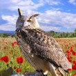Eagle Owl. — Stock Photo