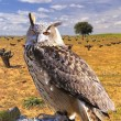 Eagle Owl. — Stock Photo #12626014