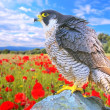 Peregrine Falcon. - Stock Photo