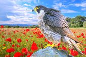 Peregrine Falcon. — Stock Photo