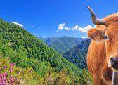 Koe in de hoge bergen. — Stockfoto