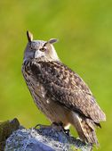 Eagle Owl. — Foto Stock