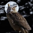 Stock Photo: Eagle Owl.