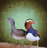 Mandarin duck, Aix galericulata. — Stock Photo