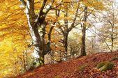 Beech forest. — Stock Photo