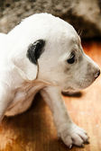 Black and white puppy — Stock Photo