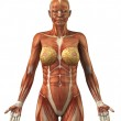 ������, ������: Anatomy of female frontal muscular system