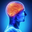 Human brain with visible skull lateral view — Stock Photo #13281200
