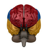 Anterior view of the Brain — Stock Photo