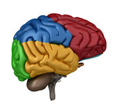 Left Lateral view of the Brain — Stock Photo