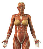 Anatomy of female frontal muscular system — Stock Photo