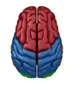 Superior view of the Brain — Stock Photo