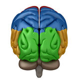 Posterior view of the Brain — Stock Photo