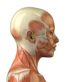 Anatomy of female head muscular system — Stock Photo