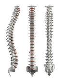 详细的脊柱的椎间盘-剪切路径 — 图库照片