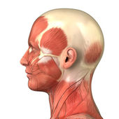 Head muscular system anatomy right lateral view — Stock Photo