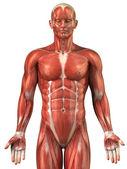 Man muscular system anatomy anterior view — Stock Photo