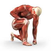 Człowiek z widocznych mięśni ze ścieżką przycinającą — Zdjęcie stockowe