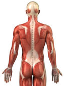 Man back muscular system posterior view — Stock Photo