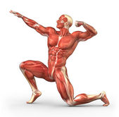 Male muscular system in body-builder position — Stock Photo