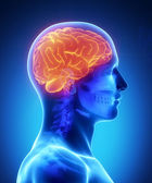 Human brain with visible skull lateral view — Stock Photo