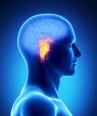脳幹 - 人間の脳の部分 — ストック写真