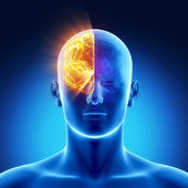Part of brain - right HEMISPHERE — Stock Photo