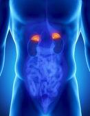 Male adrenal anatomy — Stock Photo