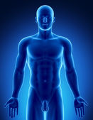 Figura masculina en la parte superior posición anatómica — Foto de Stock