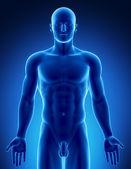 Figura masculina na parte superior posição anatômica — Foto Stock