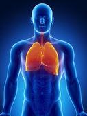 Organes du thorax humain avec les poumons et le coeur — Photo