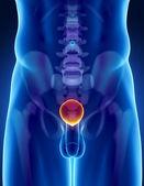 Anatomía humana de la vejiga con la pelvis y la columna vertebral — Foto de Stock