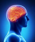 Vue latérale rougeoyante de cerveau humain — Photo