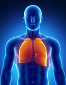 Human respiratory system with lungs — Stock Photo
