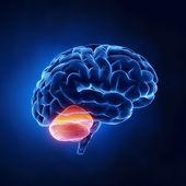 Cerebellum part - Human brain in x-ray view — Stock Photo