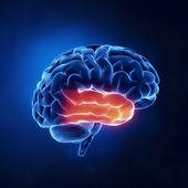 Temporal lobe - Human brain in x-ray view — Stock Photo