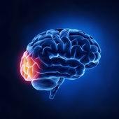 Occipital lobe - Human brain in x-ray view — Stock Photo