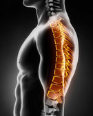 Thoracic spine anatomy left lateral view — Stock Photo