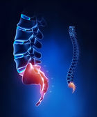 Spine sacral region anatomy in x-ray blue — Stock Photo