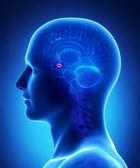 Human brain AMYGDALA - cross section — Stock Photo