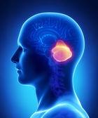Beyin beyincik anatomisi - kesit — Stok fotoğraf