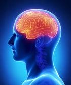 Brain CEREBRUM anatomy - cross section — Stock Photo