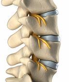 Spinal sinir sistemi - lateral görünüm — Stok fotoğraf