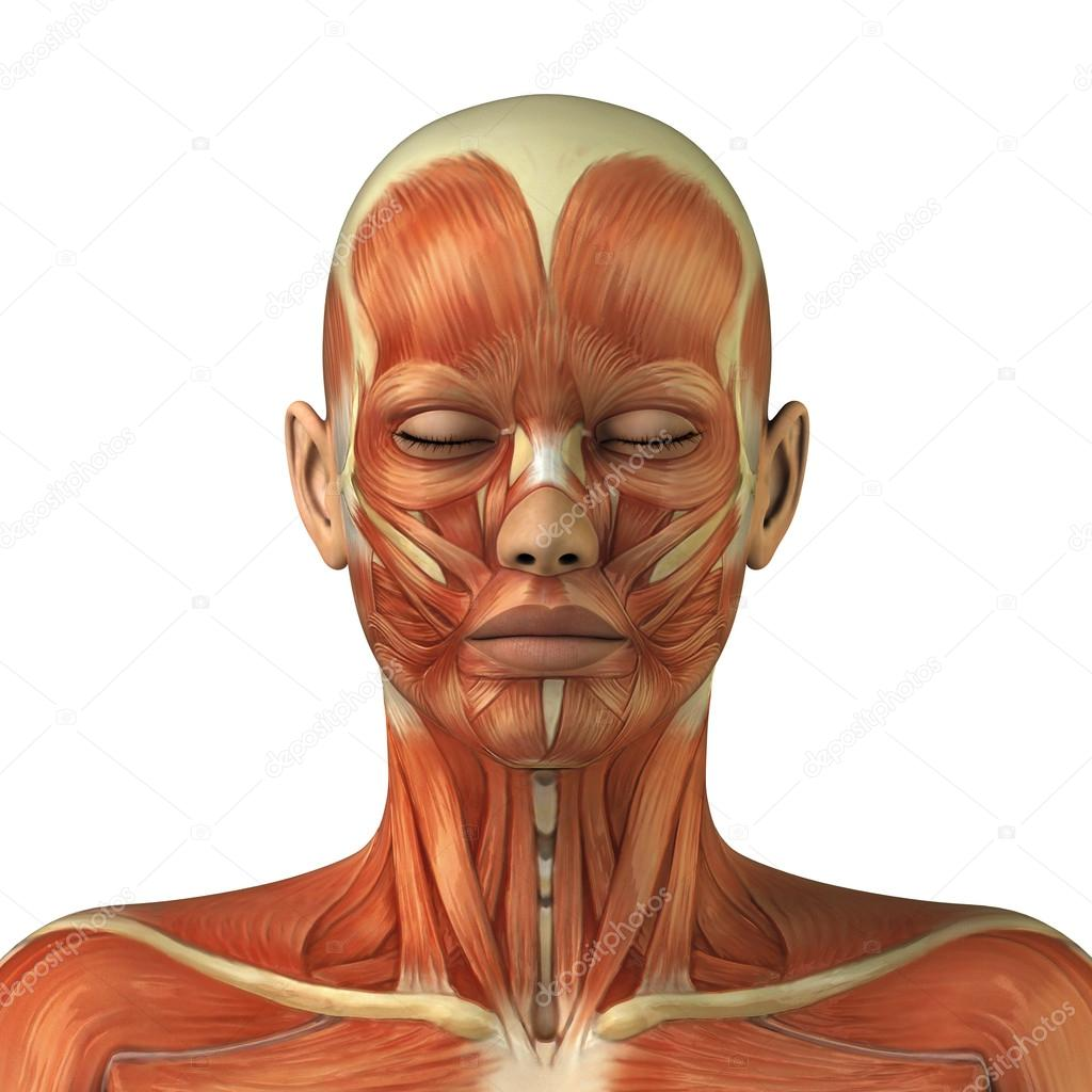 1000 images about head anatomy on pinterest anatomy