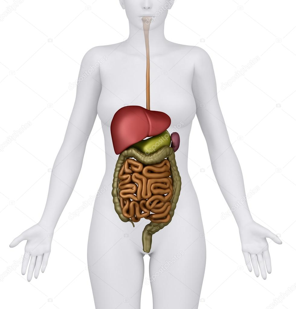 Anatomy of the Female Digestive System Organs - anerior ...
