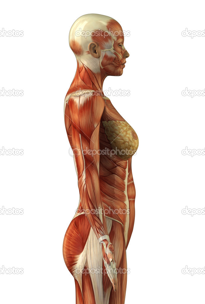 Picture of womens anatomy