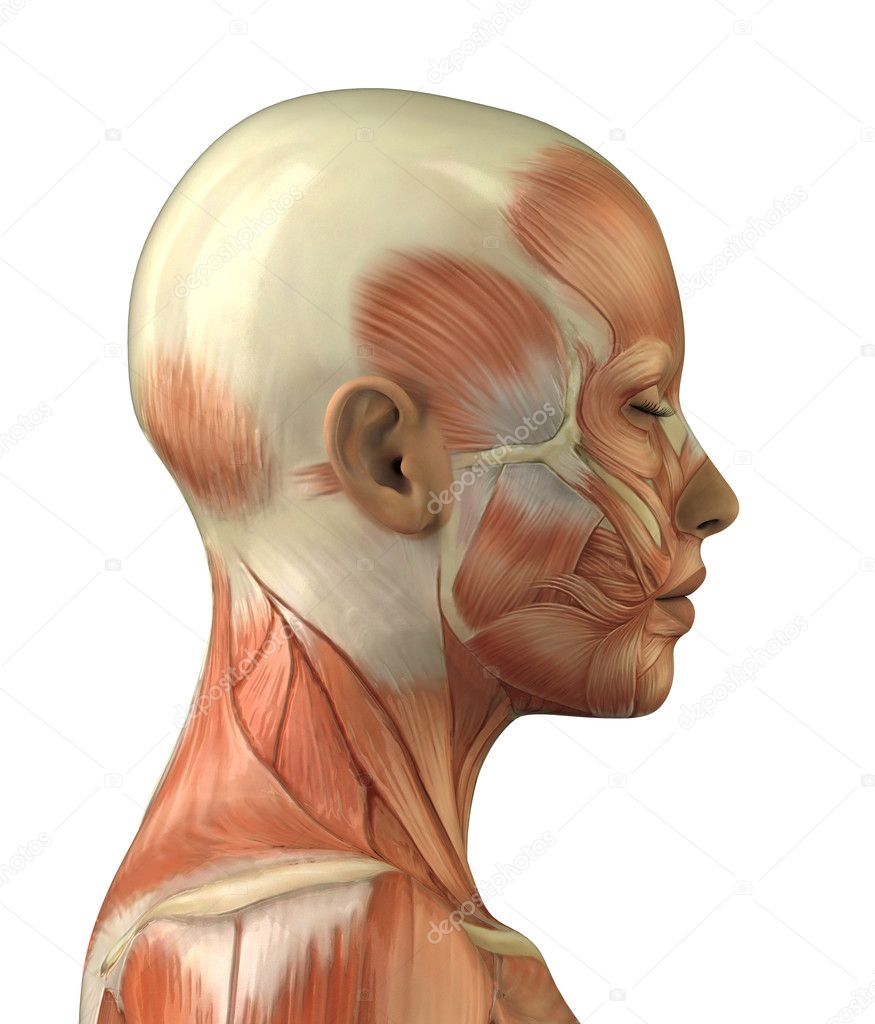 anatomy of female head muscular system � stock photo