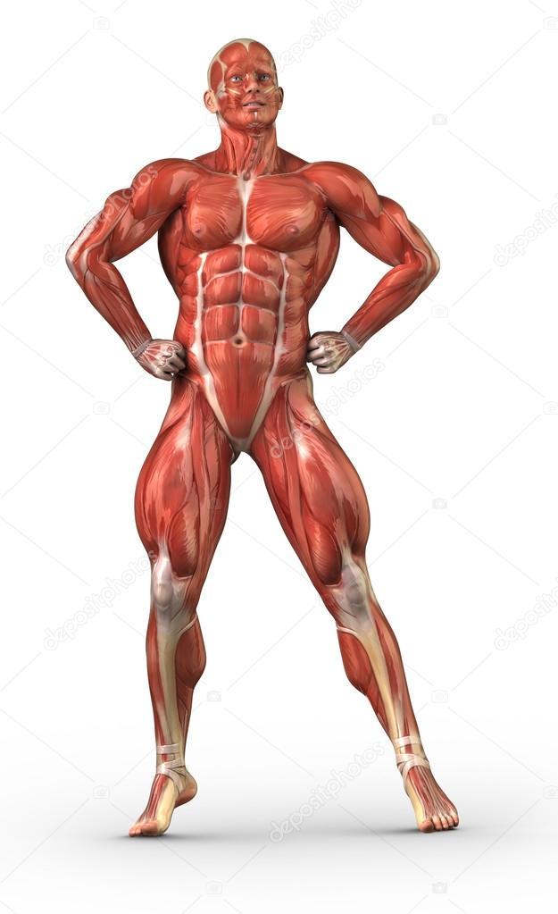 Sistema muscular anatomía masculina en la posición