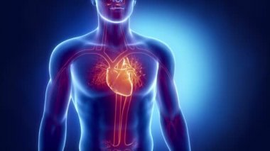Human heart x-ray look in loop — Stock Video
